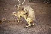 Whitetail Deer Buck and Doe breeding having sex mating