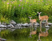 Whitetail deer doe and fawn at waters edge with reflection.