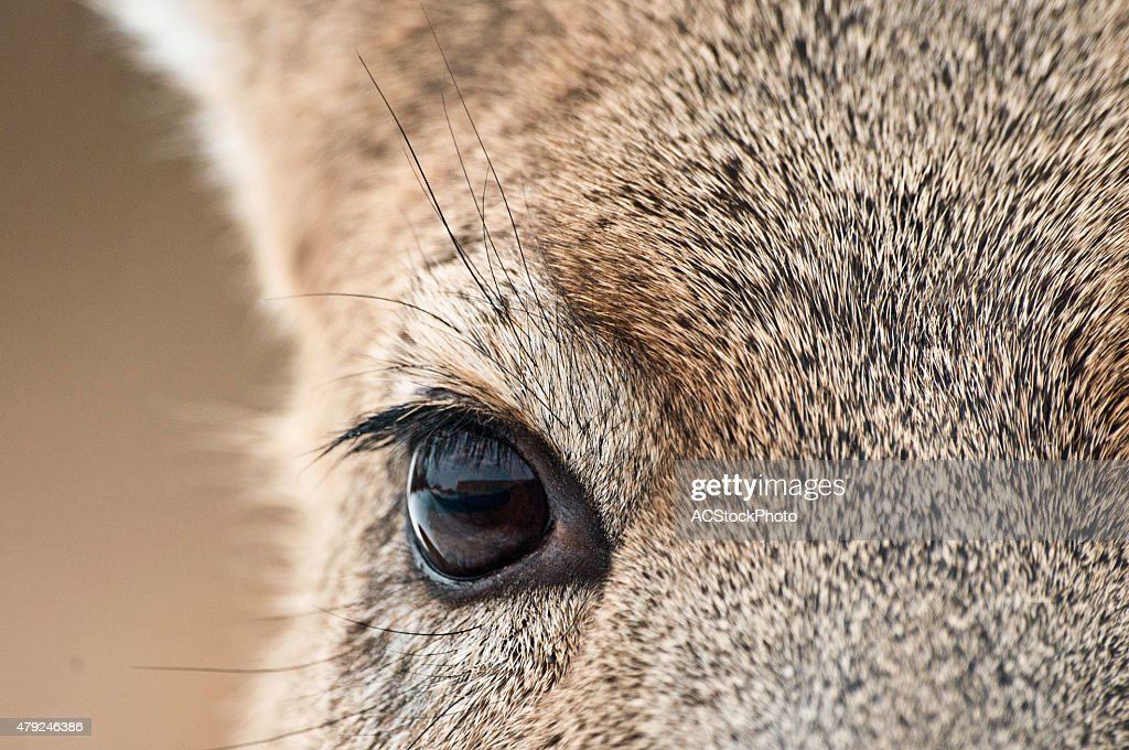 Whitetail deer eye diagram anatomy house wiring diagram symbols whitetail deer eye closeup stock photo thinkstock rh thinkstockphotos com whitetail deer vitals targets deer heart ccuart Images