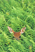 """""""White-tail deer, fawn hiding in the tall ferns"""""""