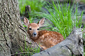 whitetail deer fawn in the woods
