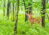 Whitetail Deer Fawn standing in the woods.