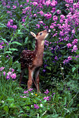 A Whitetail Deer Fawn stretches amidst a field of wildflowers in Montana.