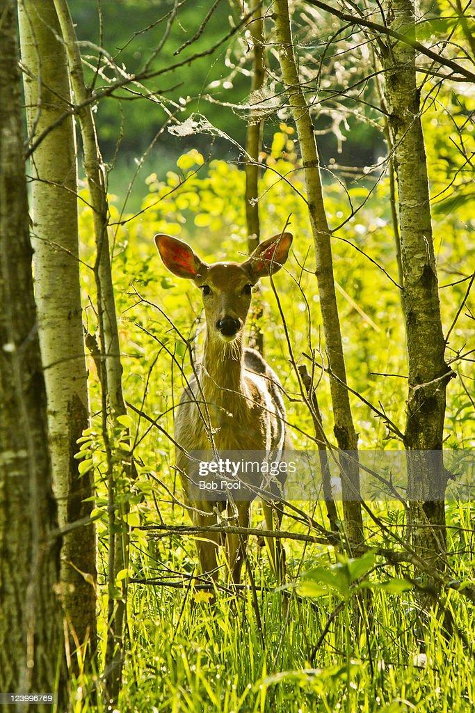 Whitetail deer in Aspen