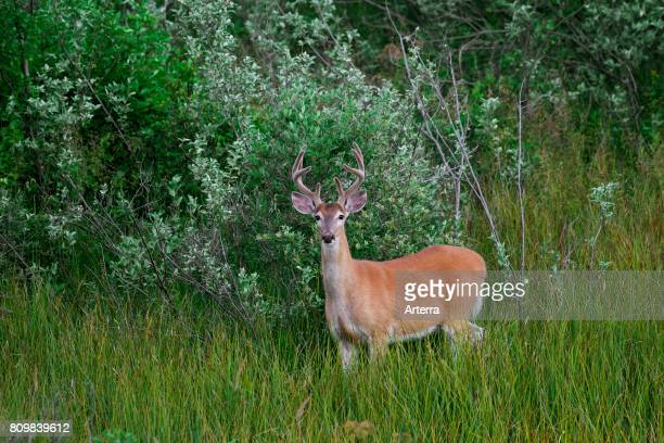 Whitetail deer / whitetailed deer buck with antlers covered in velvet in summer Canada
