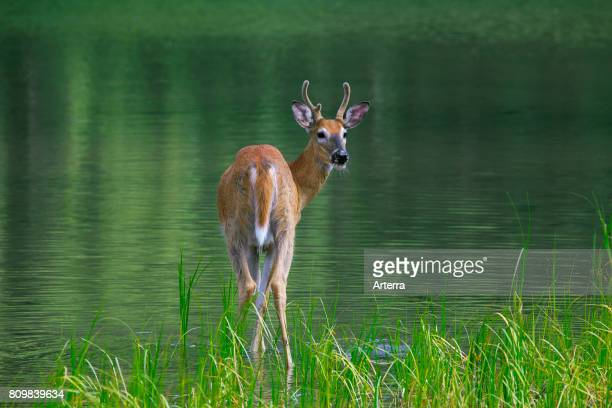 Whitetail deer / whitetailed deer young buck with antlers covered in velvet in shallow water of lake Canada