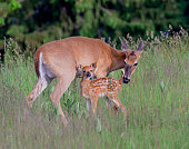 A tender moment with a  mom and very young fawn