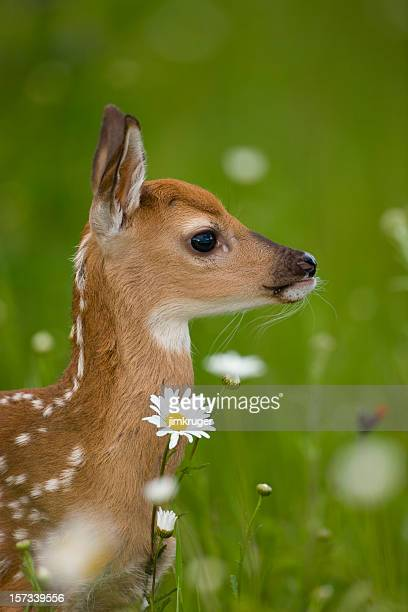Whitetail fawn deer in flora.