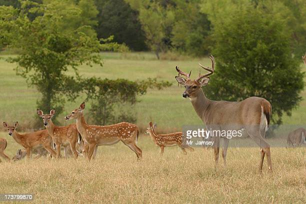 White-tailed buck with doe