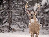Close up image of a white-tailed deer buck amongst a scenic winter landscape.