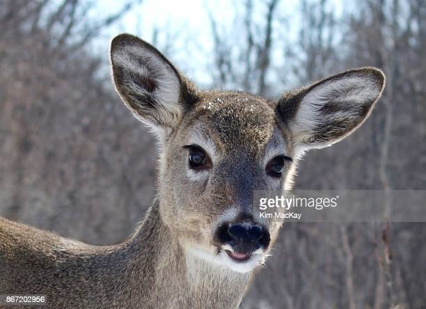 White-tailed Deer, close-up/head shot