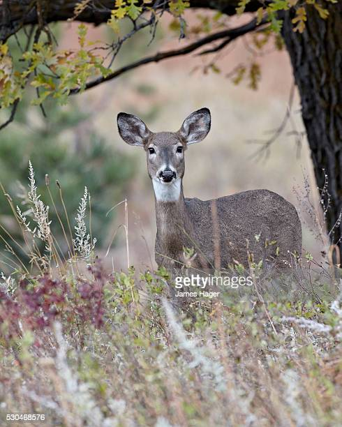 a history of the white tailed deer in the united states Here are some curious facts one: more white-tailed deer live in the united states today than at any other time in history two: fewer hunters are going after them than did even 20 years ago and yet, three: deer hunting now rivals military combat in its technological sophistication.