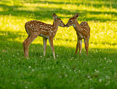 Two white-tailed deer fawns nose to nose in an open meadow on a summer morningTwo white-tailed deer fawns nose to nose in an open meadow on a summer morning
