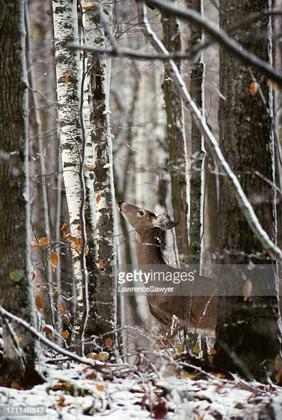 white-tailed deer in poplar forest