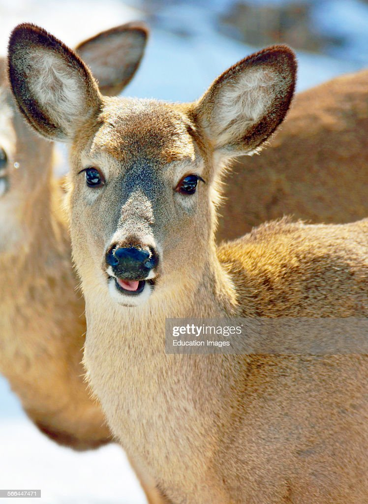 Whitetailed Deer Young Female Animal Portrait