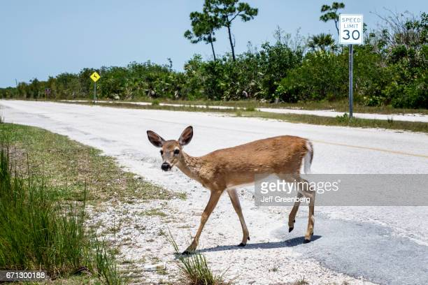 A Whitetailed doe crossing the road at Key Deer Boulevard