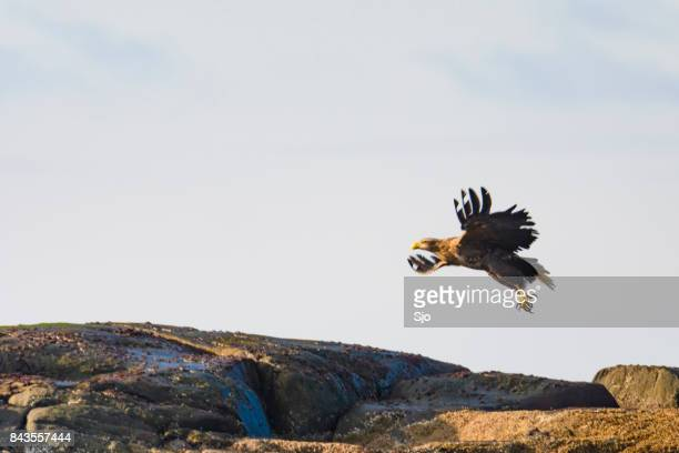 White-tailed eagle flying over a rock in the sea in Norway