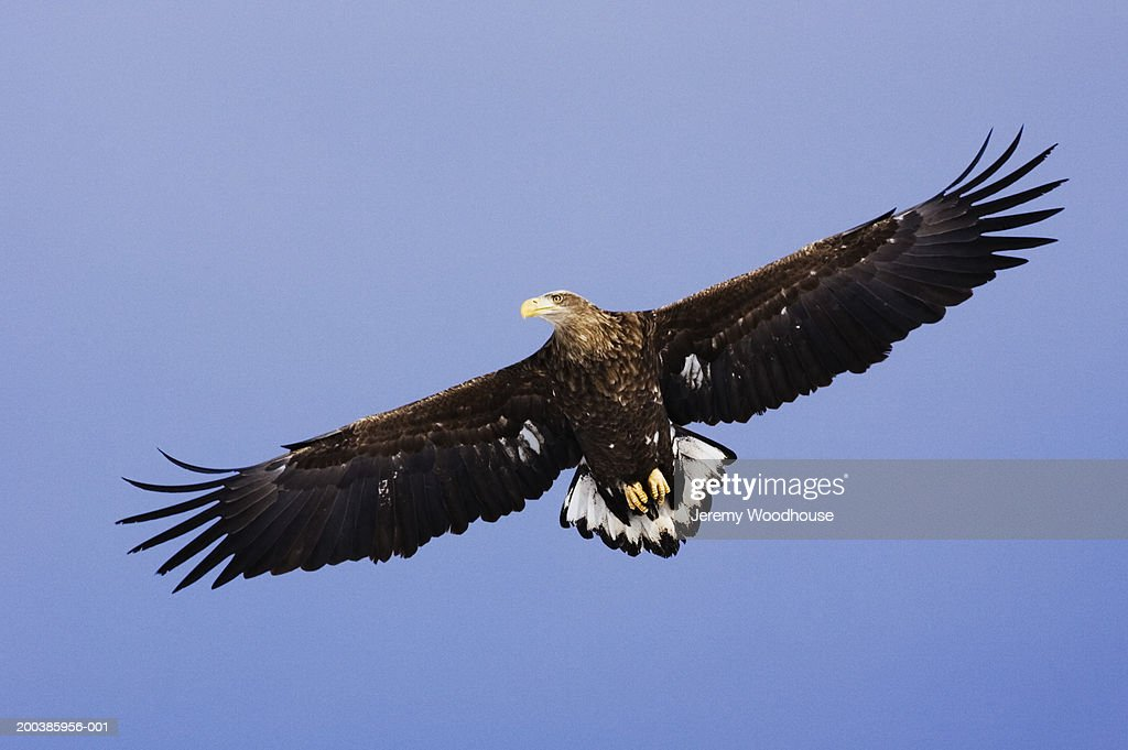 White-tailed eagle (Haliaeetus albicilla) in flight, low angle view