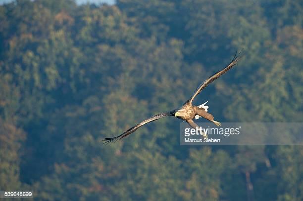 White-tailed Eagle or Sea Eagle -Haliaeetus albicilla-, in flight, Mecklenburg Lake District, Mecklenburg-Western Pomerania, Germany