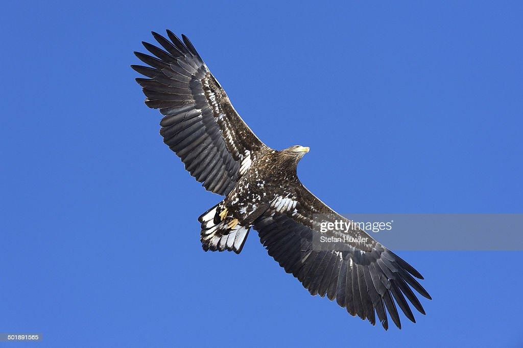 White-tailed Eagle or Sea Eagle -Haliaeetus albicilla- in flight, viewed from below, Kushiro-Shitsugen-Nationalpark, Kushiro, Hokkaido, Japan