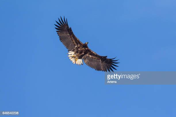 Whitetailed Eagle / Sea Eagle / Erne in flight soaring against blue sky
