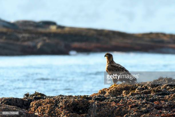 White-tailed eagle sitting on a rock in the sea in Norway