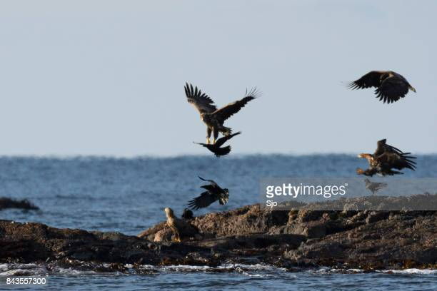 White-tailed eagles or sea eagle flying over a rock in the sea in Norway