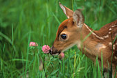 White-tailed Fawn Sniffing Clover