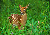 a cute young white-tailed deer fawn in green grass and clover