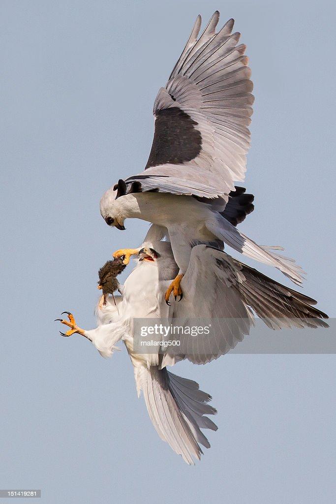 White-tailed Kite food exchange : Foto de stock