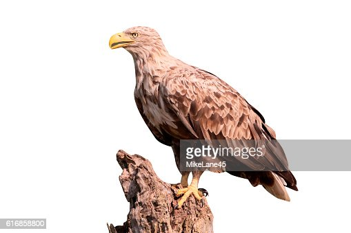 White-tailed sea-eagle, Haliaeetus albicilla : Stock Photo