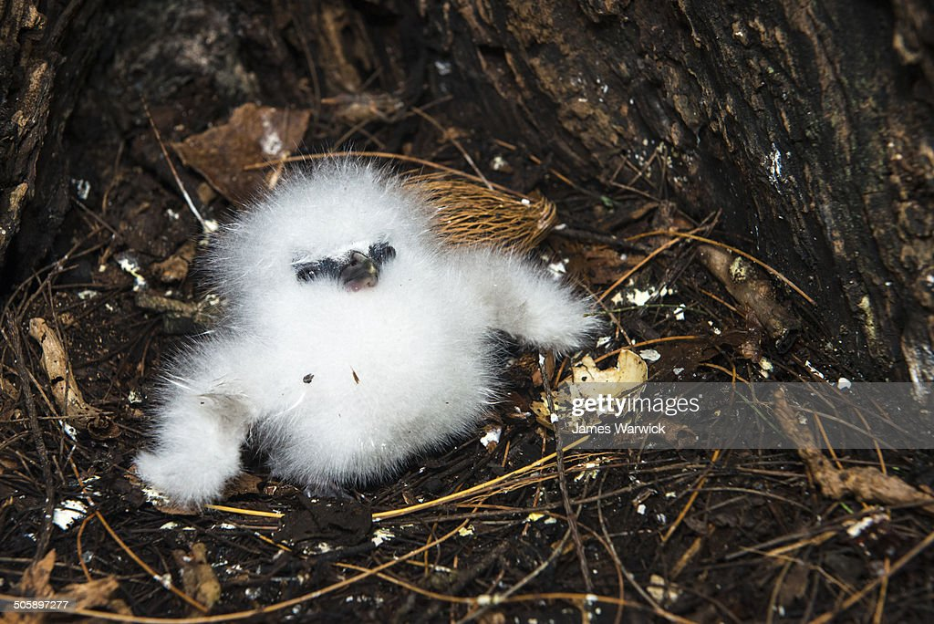 White-tailed tropicbird chick at base of tree