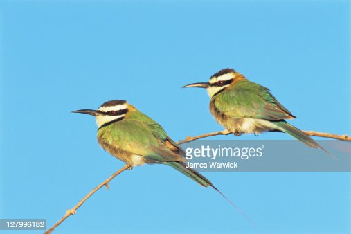White-throated bee-eaters : Stock Photo