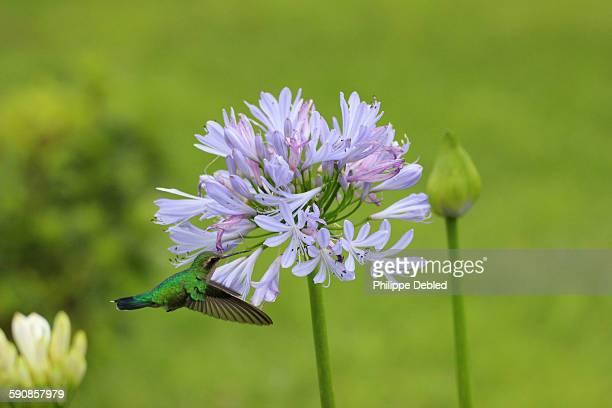 White-throated hummingbird feeding blue agapanthus