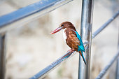 White-throated kingfisher Halcyon smyrnensis, Standing on a stump, in nature, in Nepal