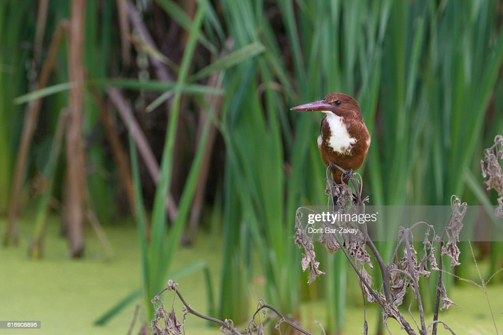 White-throated Kingfisher (Halcyon smyrnensis) : Stock Photo