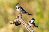 Pair of white throated swallows sitting on a tree log.
