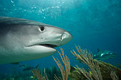 Whitetip reef shark, close-up, side view, underwater view