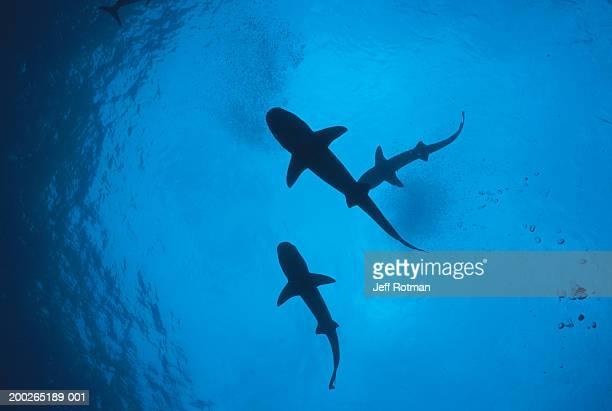Whitetip reef sharks (Triaenodon obesus) following scent trail
