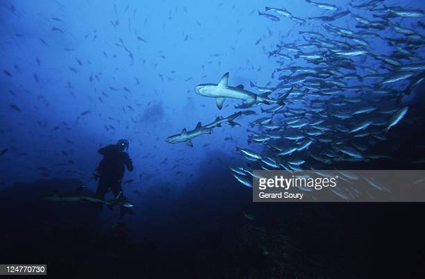 whitetip reef sharks,triaenodon obesus,hunting with diver,cocos is,c.rica