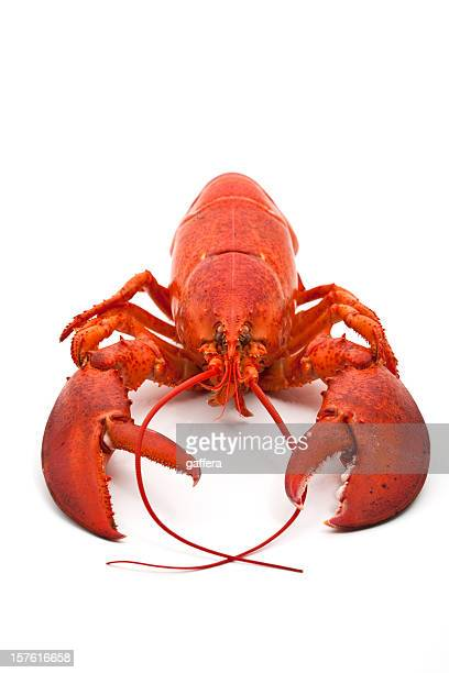 Whole cooked lobster on white background