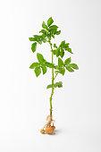 studio shot of whole potato plant
