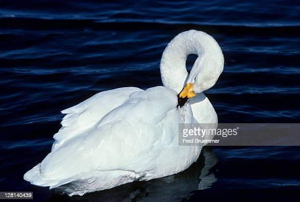 Whooper Swan, Cygnus cygnus, preening in water