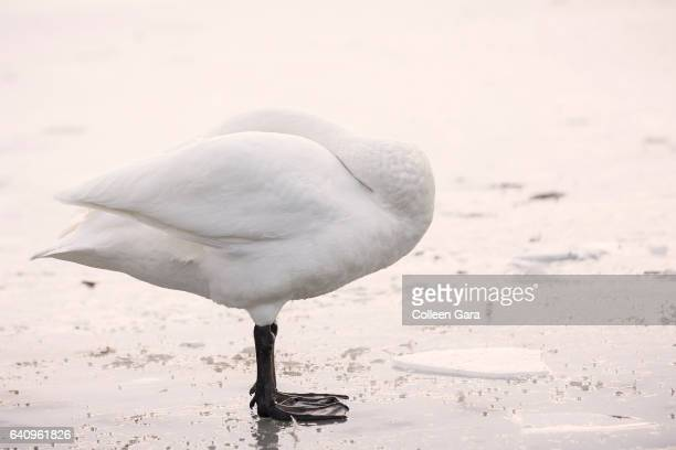 Whooper Swan on Ice Covered Pond, Iceland