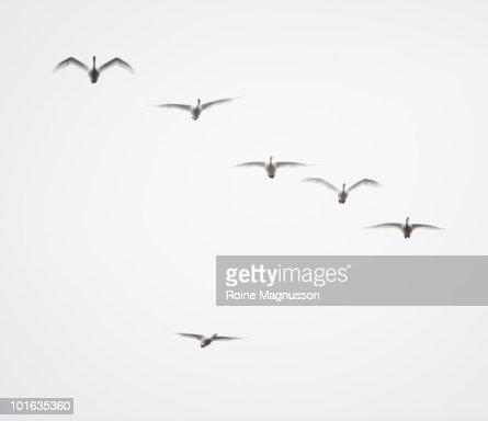 Whooper swan (Cygnus cygnus) : Stock Photo