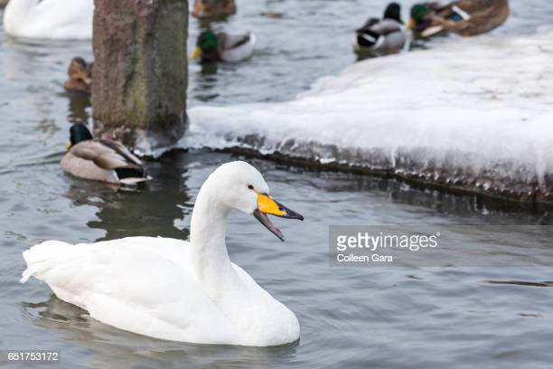 Whooper Swan swimming in a pond in Reykjavik, Iceland