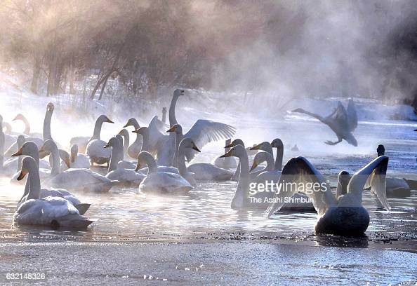 Whooper swans are seen at a natural hot spring of Lake Kussharo on January 20 2017 in Teshikaga Hokkaido Japan The temperature was minus 18 degrees...