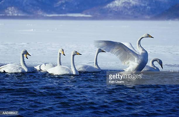 Whooper swans (Cygnus cygnus) in lake
