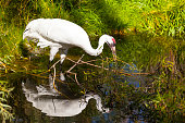 Whooping Crane home is North American, the bird also is an endangered species. Around  2003, there were less than 200 pairs of whooping cranes left.