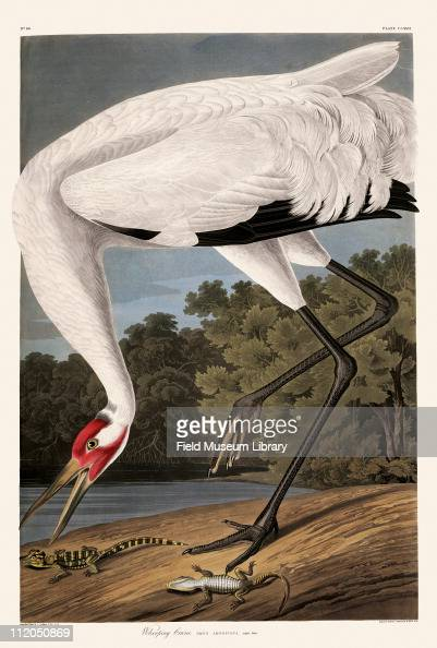Whooping Crane Plate 226 from John James Audubon's Birds of America late 1830s